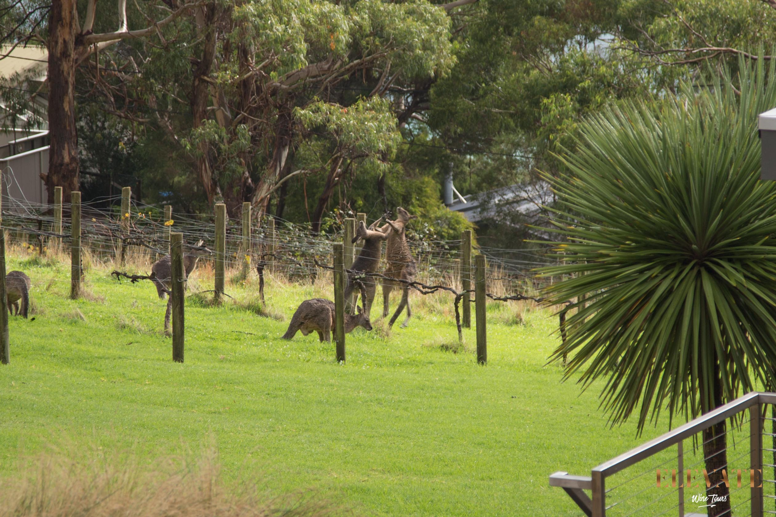 Kangaroos-Mornington-Peninsula-Boxing-Vineyard