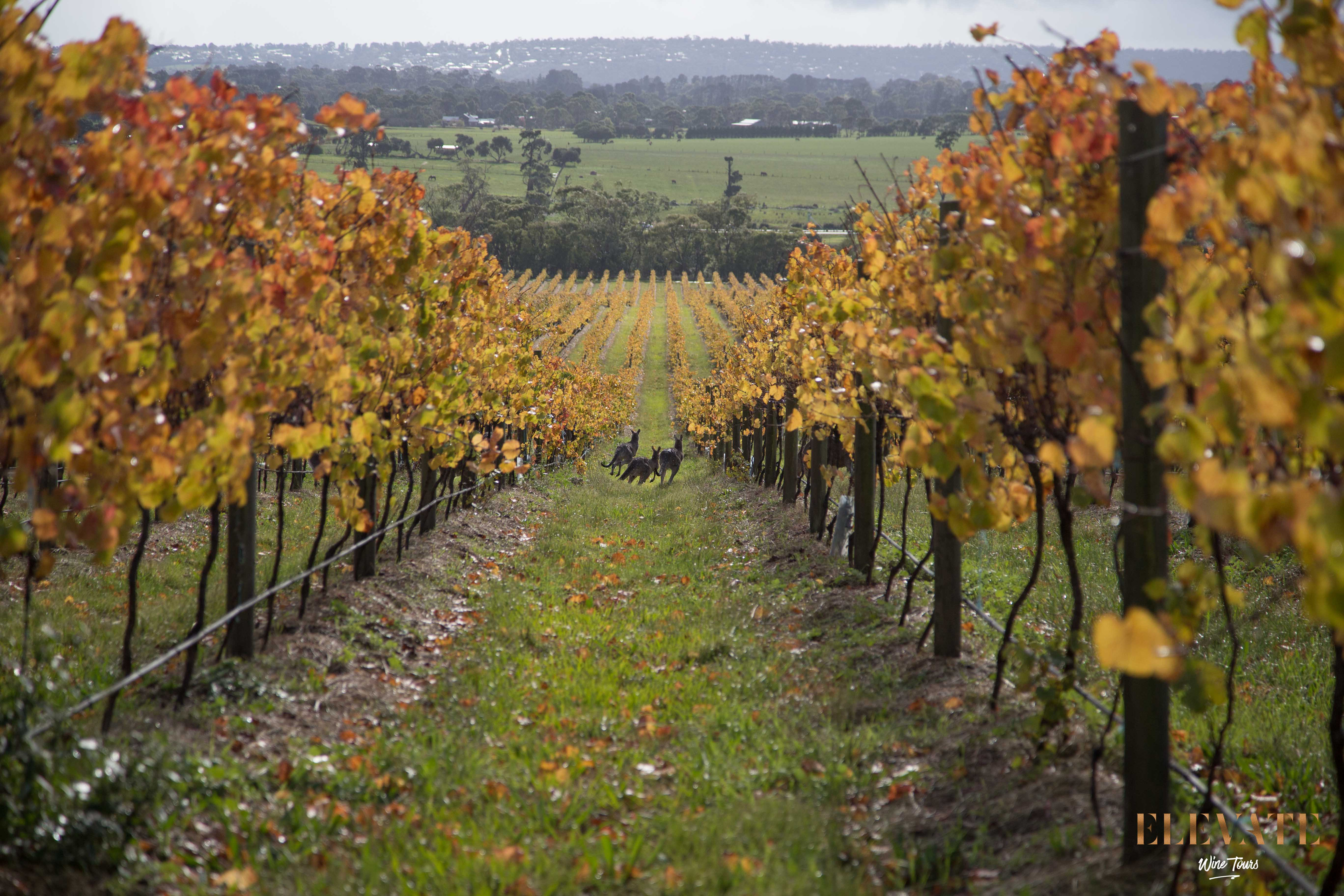KANGAROO-MORNINGTON-PENINSULA-WINERY-TOUR
