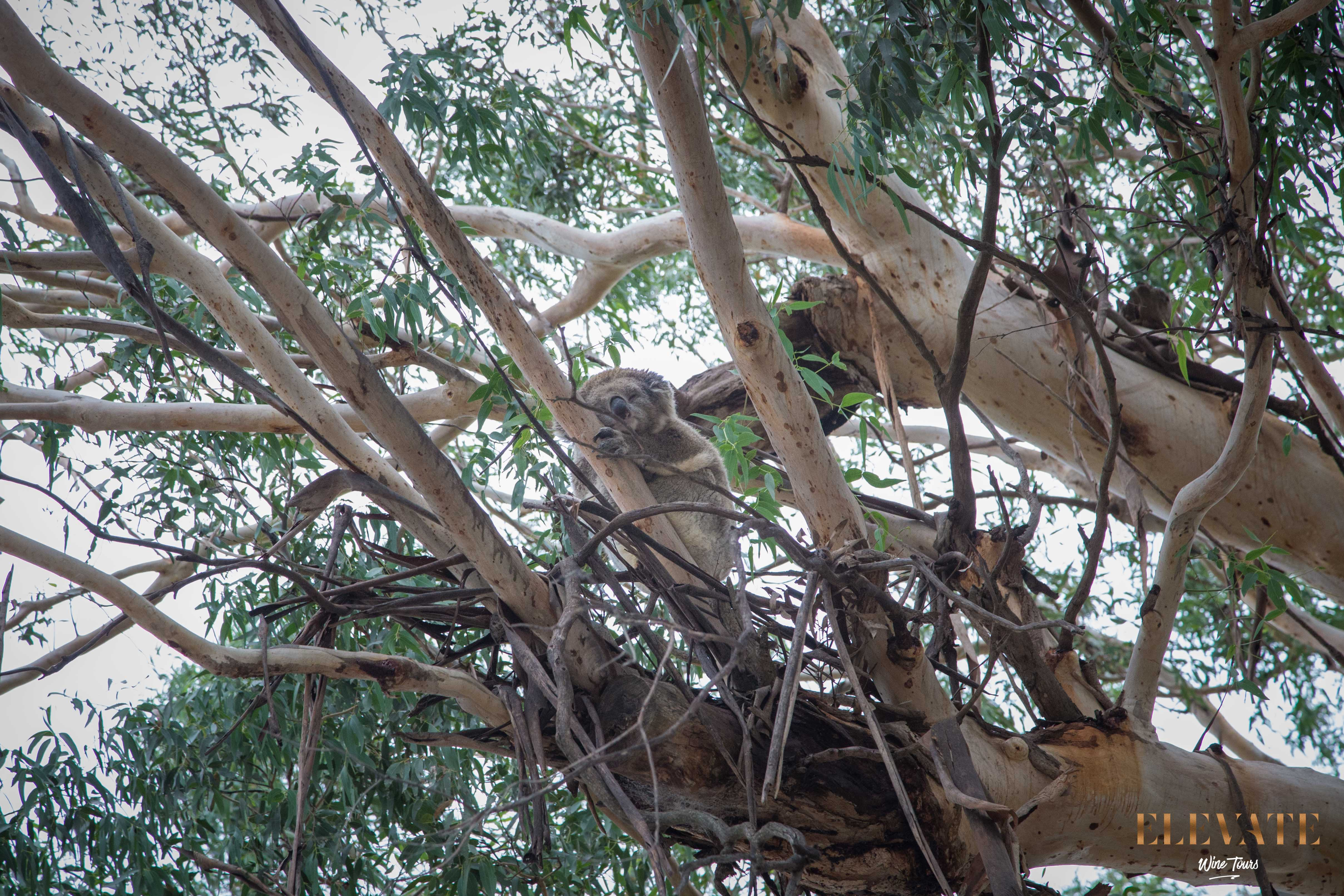 KOALA-QUEALY-WINE-TOUR-MORNINGTON-PENINSULA