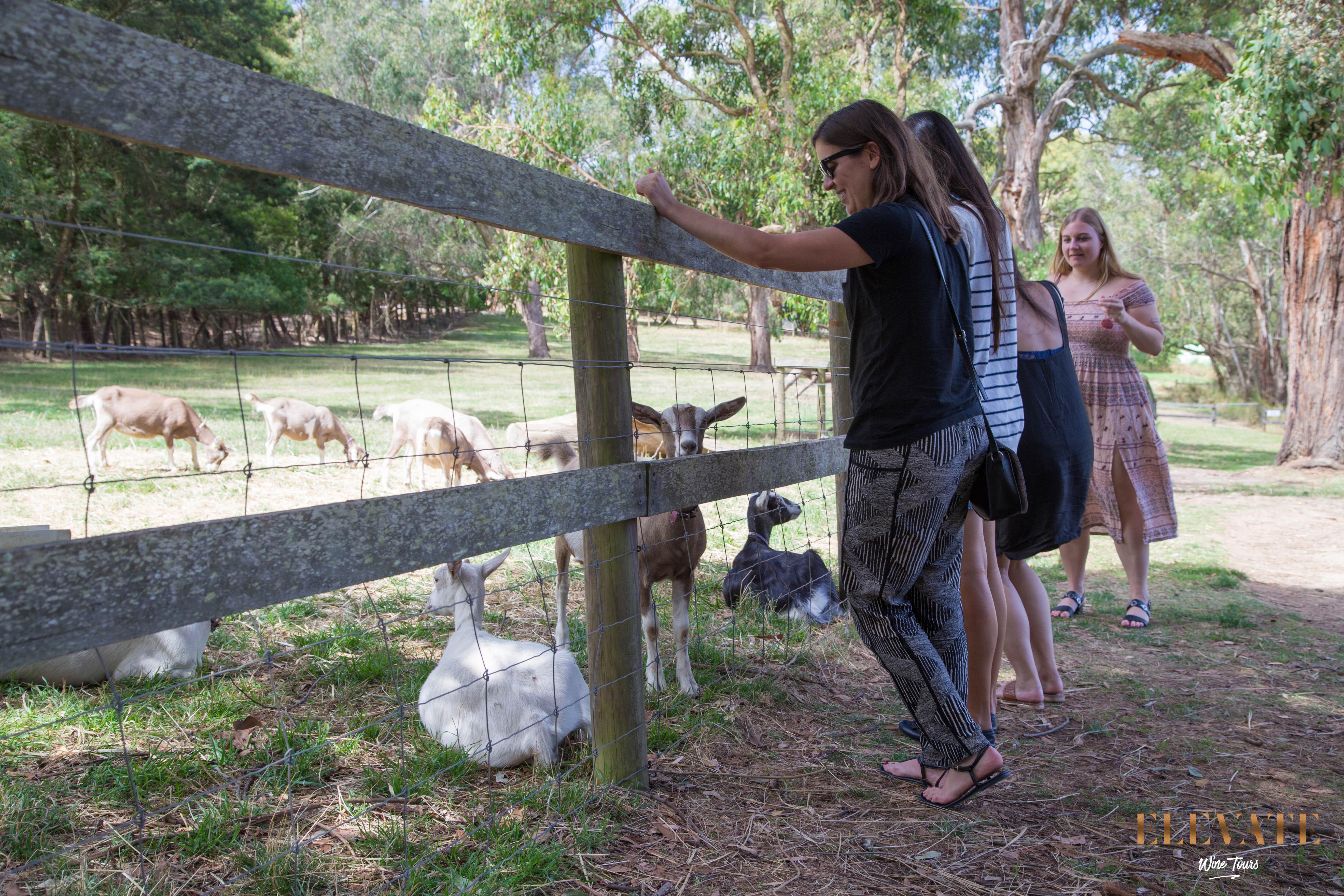 Visiting the goats at Main Ridge Dairy
