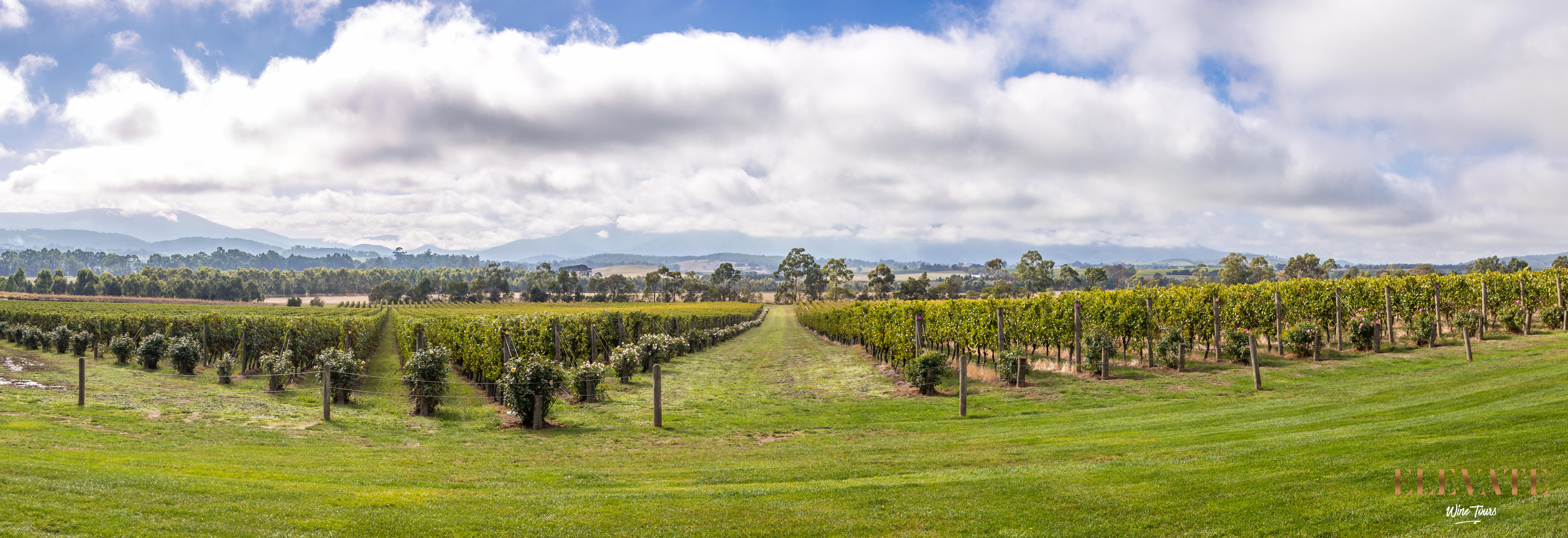 Panoramic view of the vines at Domaine Chandon, Yarra Valley.