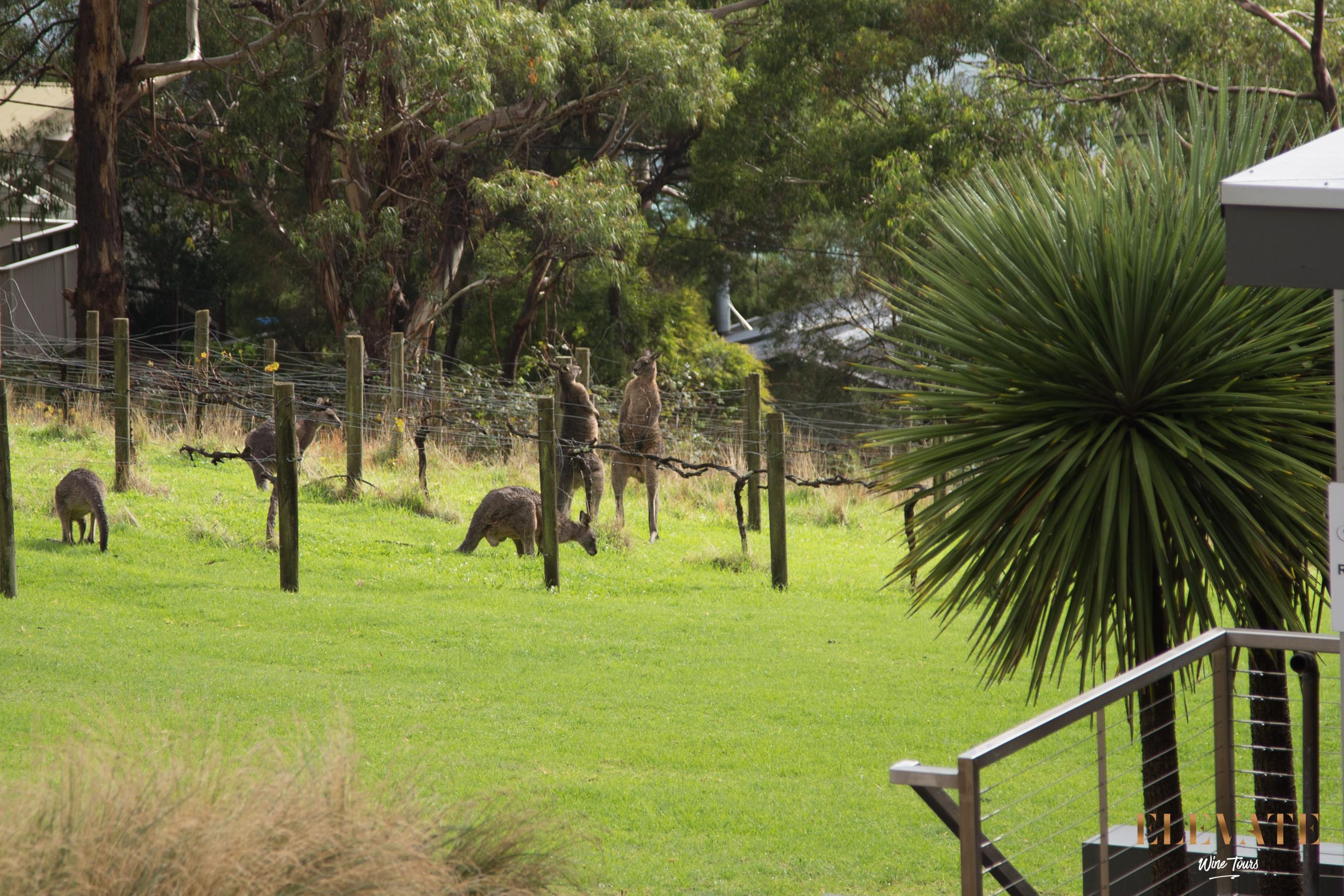Kangaroo-Mornington-Peninsula-Boxing-Vineyard