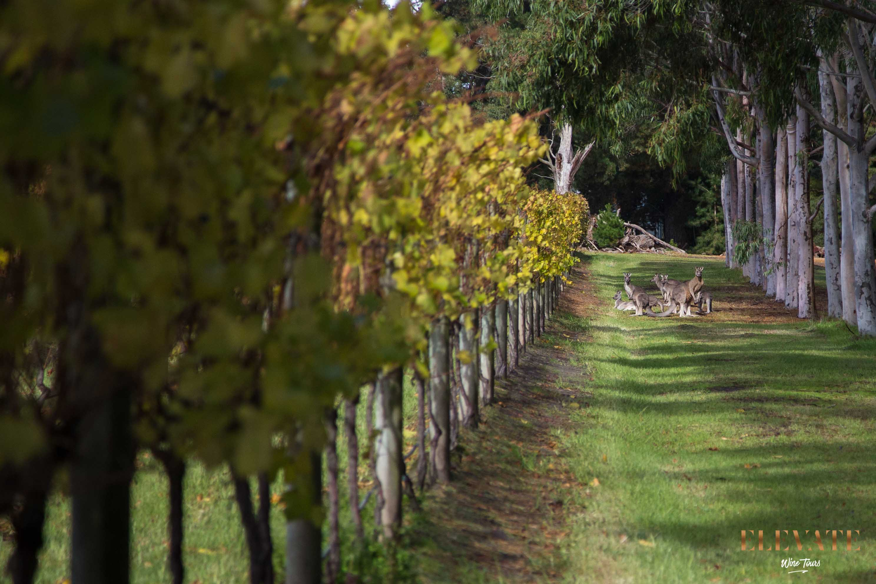 Kangaroos in the vineyard at Yabby Lake, Mornington Peninsula